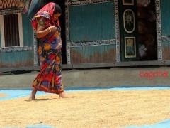 Muri-Made-pic-11-Rice-Dhan