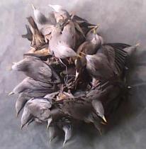 বেপরোয়া পাখি শিকার: বিলুপ্তির পথে দেশীয় প্রজাতির পাখি।