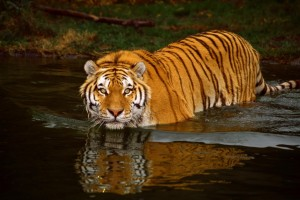 Swimming Tiger ©