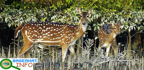 Deer-in-Bangladesh2