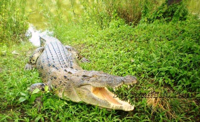 Crocodile-in-Sundorbon