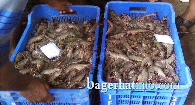 Bagda-Chingri-Pic-2