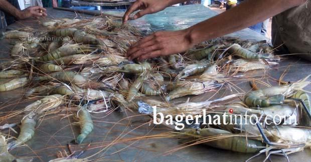 Golga-Chingri-pic