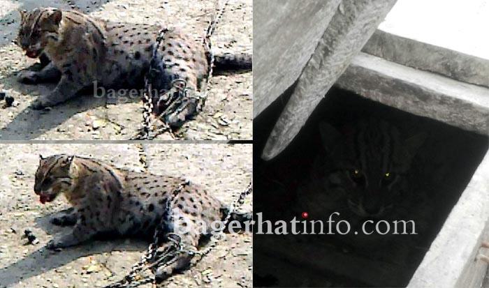 Maso-Bage(Fishing-Cat)