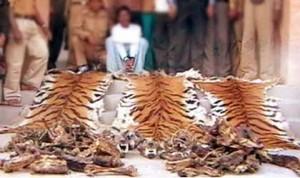 Tiger-Hunt