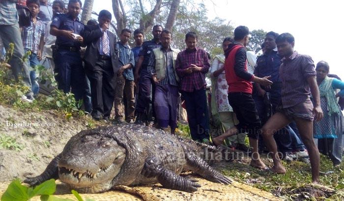 Mazar-Crocodile-Pic-1(05-02-2015)Bagerha