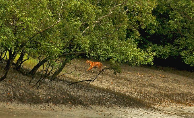 tiger-trattoria-at-sundarban-PIC