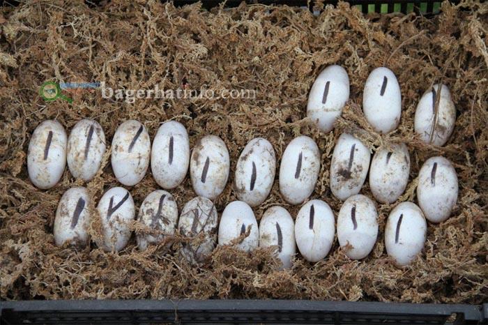 Crocadil-egg