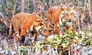 Tiger-at-SundorBon