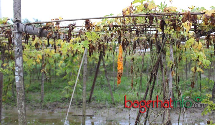 Bagerhat-Agricultur-Pic-2