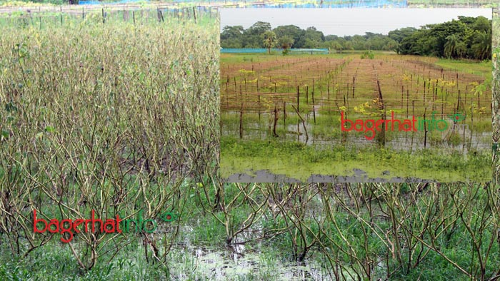 Bagerhat-Agricultur-Pic-3