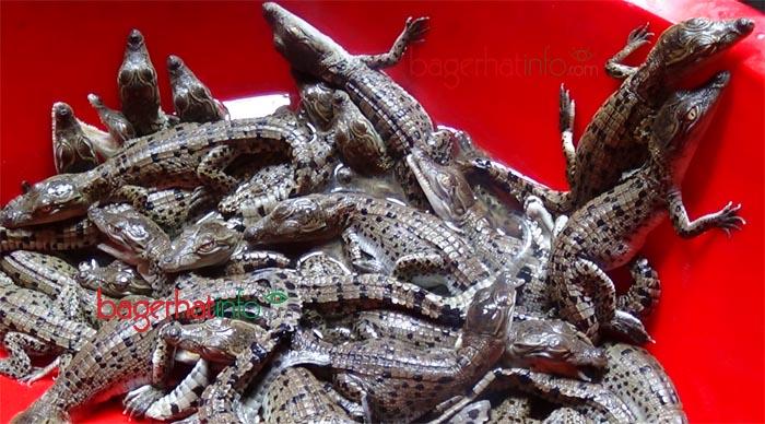 Crocodile-sana-2015