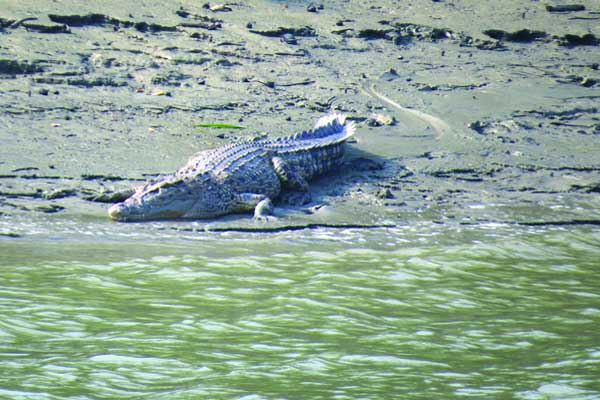 crocodile-in-sundarban