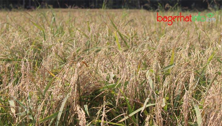 Bagerhat-Rice-Dhan