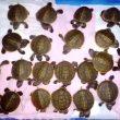 করমজলে 'বাটাগুর বাসকার'  ৪৫ ছানা